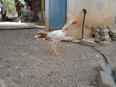 Untuk Dijual: Ayam Muda Si Putih