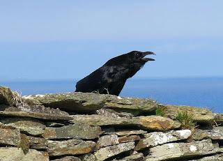 Raven squawking