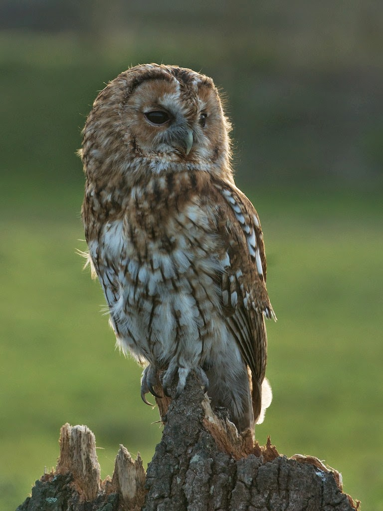 Matt S Photos Tawny Owl