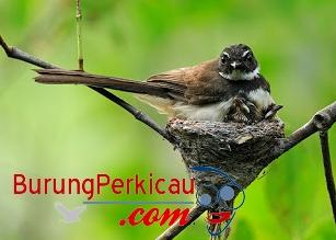 Sarang burung sikatan