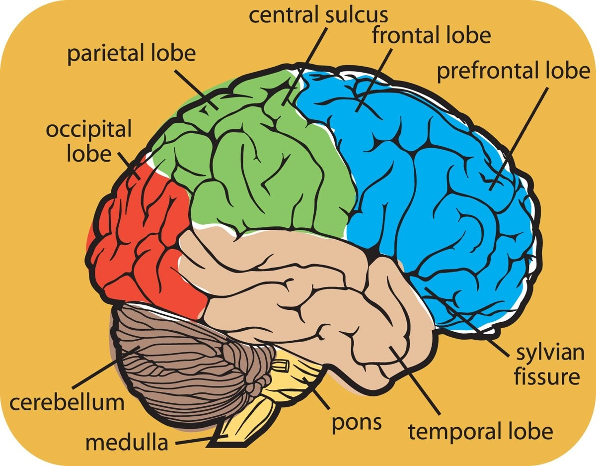 anatomy of the brain Start studying ch 19 gross anatomy of the brain and cranial nerves learn vocabulary, terms, and more with flashcards, games, and other study tools.