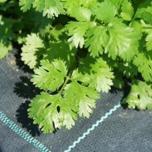 http://www.cantinhodasaromaticas.pt/loja/plantas-em-vaso-bio/coentros-coriandrum-sativum-3/