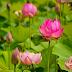 Harmonica Tab - Lotus Flower - Eric Chiryoku