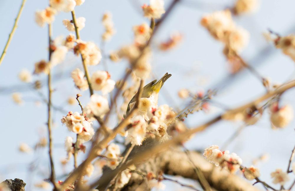 めじろと梅の写真