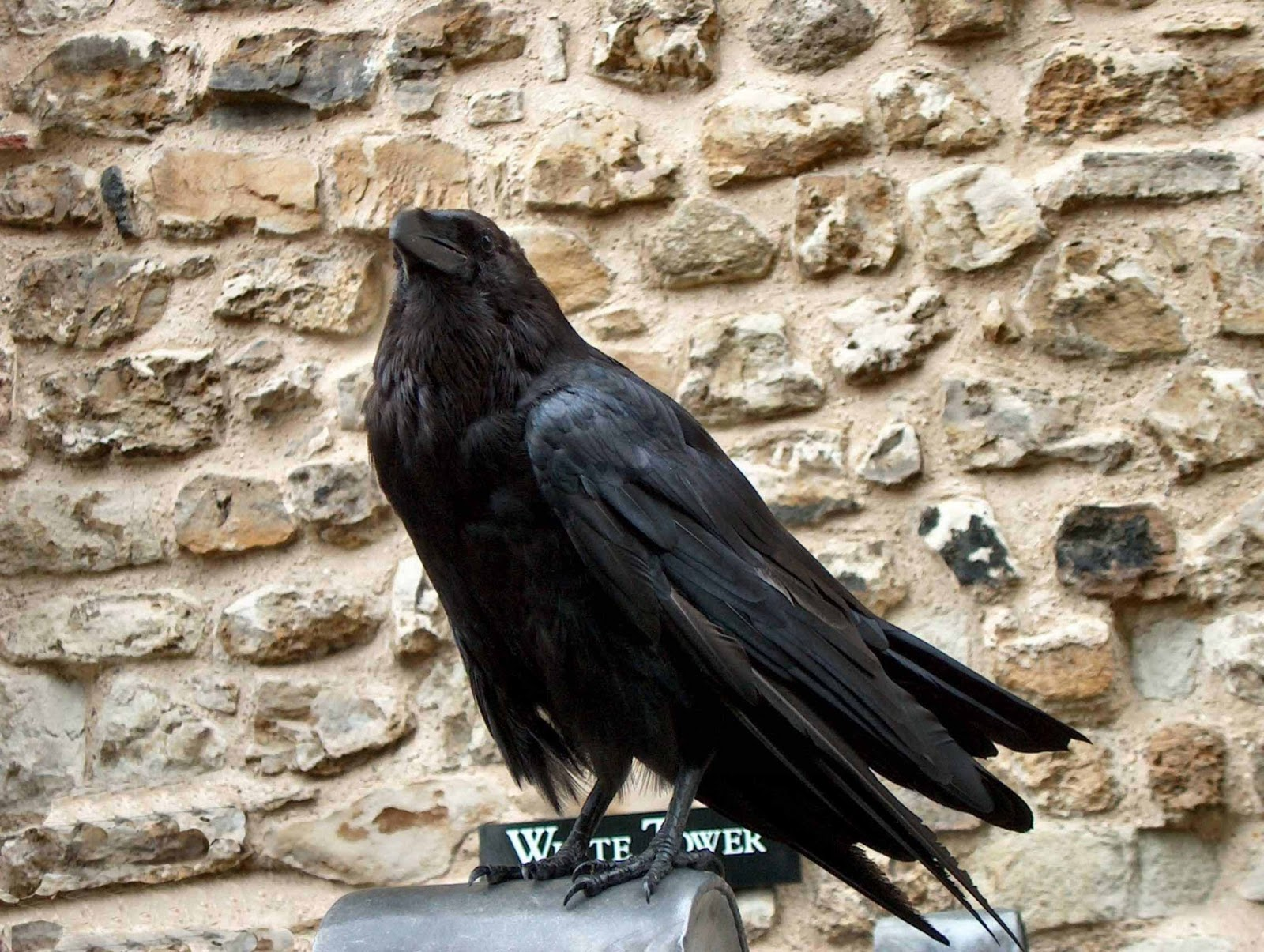 crow hd wallpapers dwito wallpaper