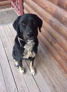 Βρέθηκε σκυλίτσα στον Ασπρόπυργο με χαρακτηριστικό  λουράκι που έχει διπλή αλυσίδα