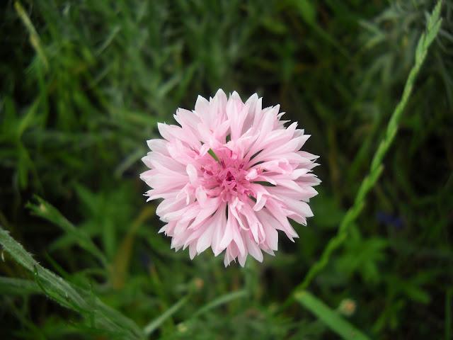 Bachelor's Buttons wild flower at White Rock Lake, Dallas, TX