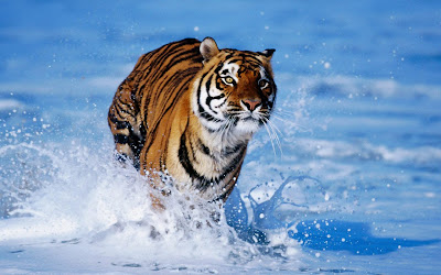 Tiger Running In See Water HD Wallpaper