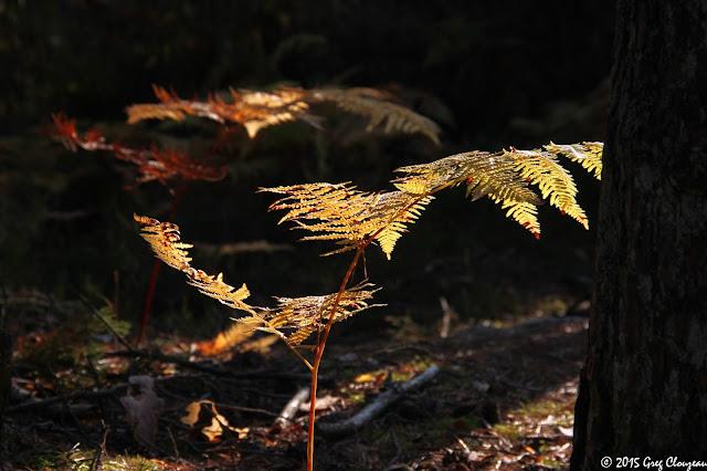 Fougères aigle à l'automne en forêt de Fontainebleau, Franchard Isatis, (C) 2015 Greg Clouzeau