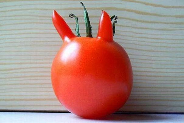الطماطم شكل شيطان