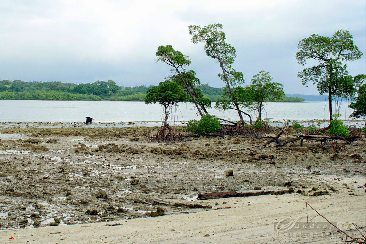 Low tide view of the mangroves at the Havelock Jetty