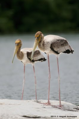 juvenile painted storks