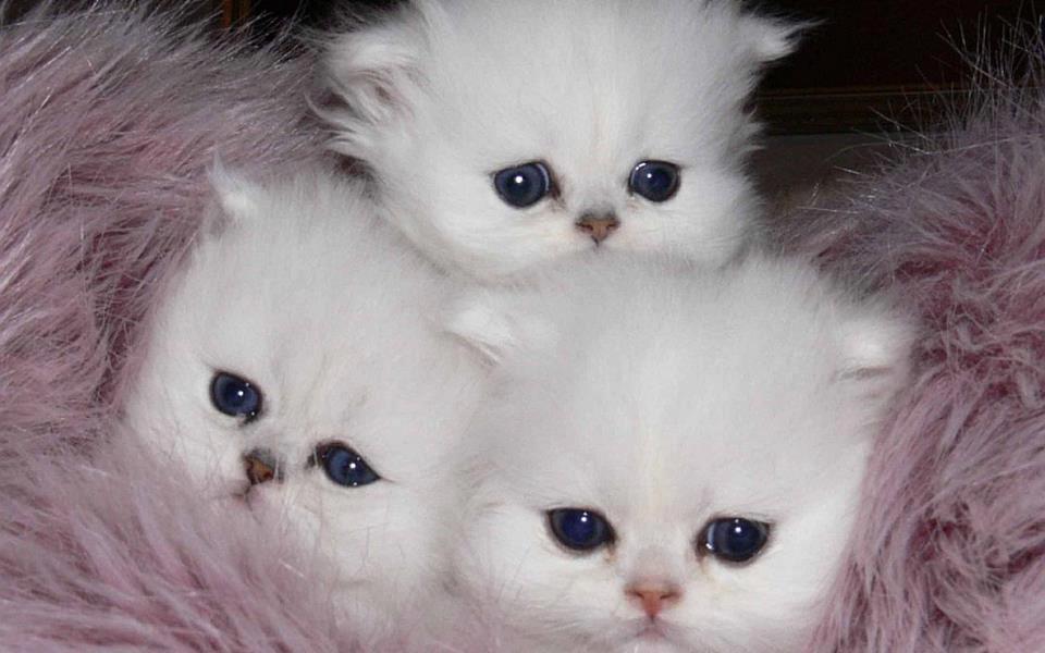 white kittys blue pla  heart