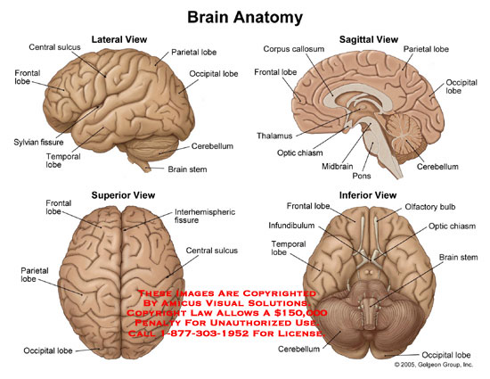 Brain Anatomy Model6
