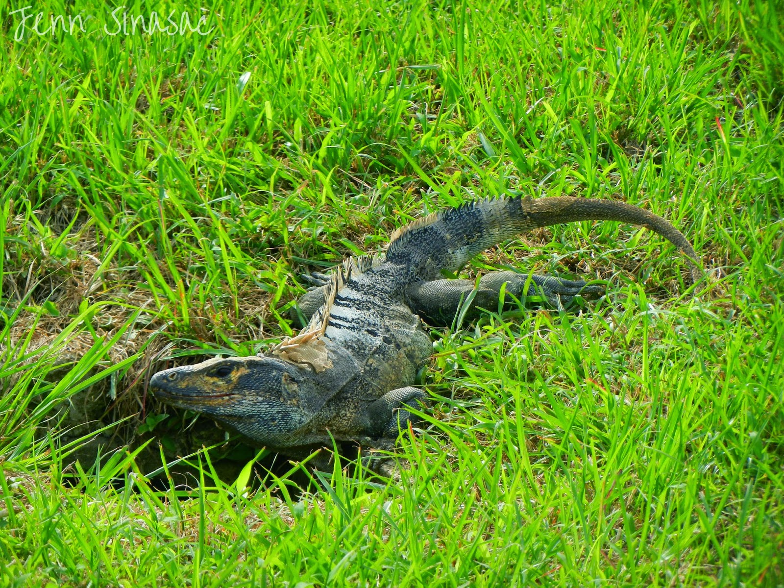 Black Spiny-tailed Iguana