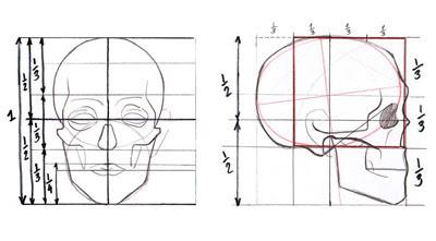 Human facial proportions profile