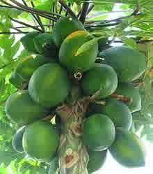 khasiat buah carica bagi kecantikan