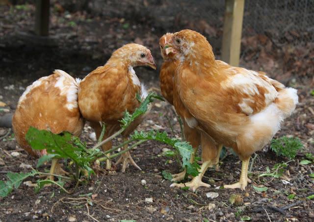 mrsfoxs chickens