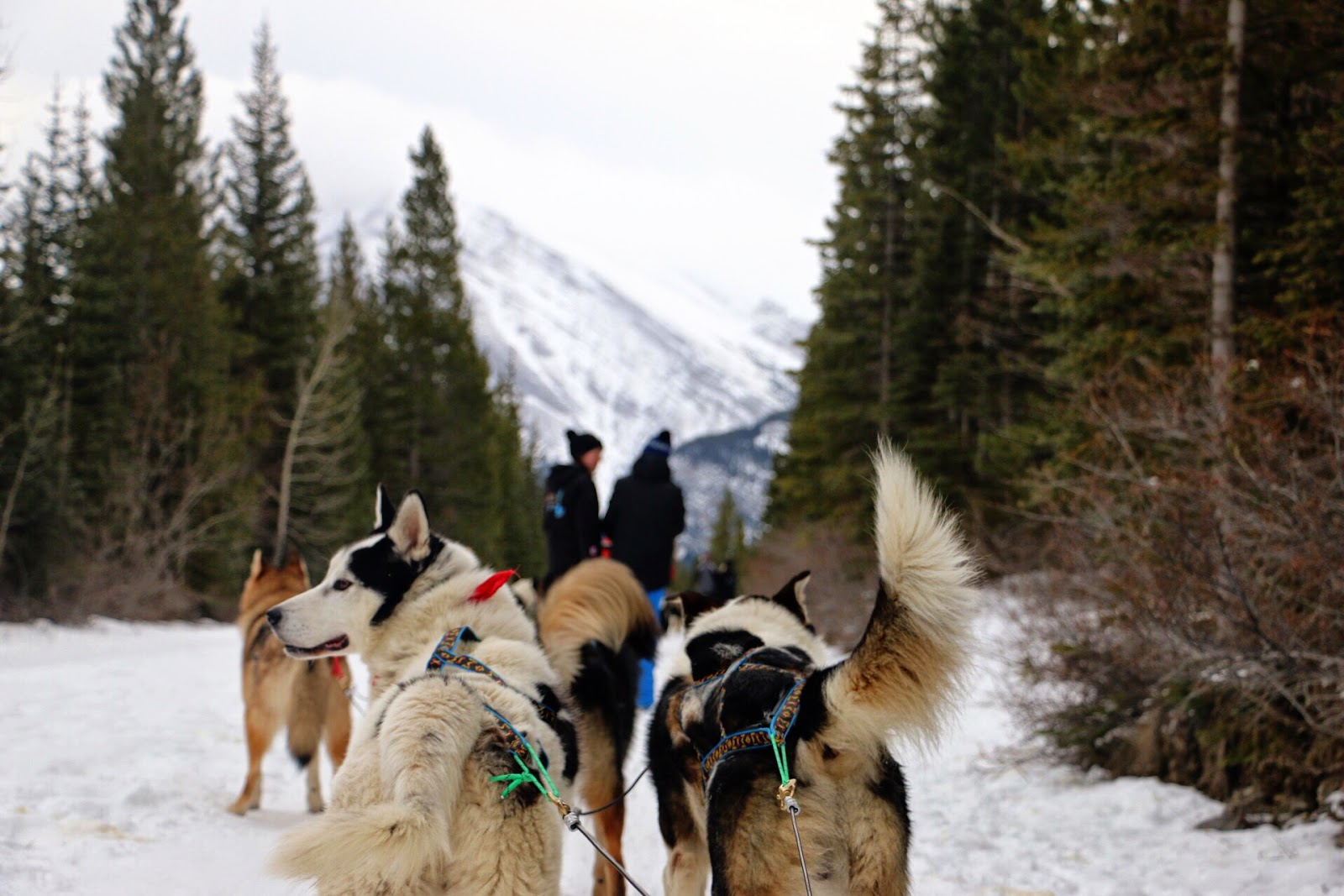 Dog Sledding in Banff National Park, Alberta Canada by Jessica Mack (aka SweetDivergence)