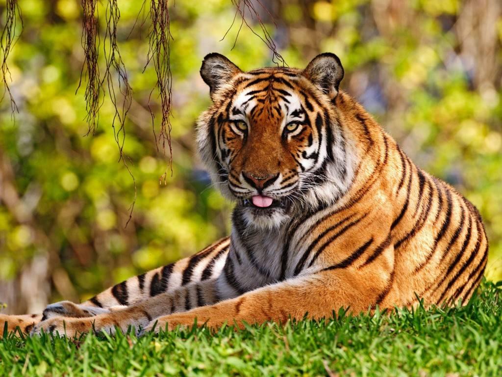 Fondos de Pantalla Gratis: Tigre