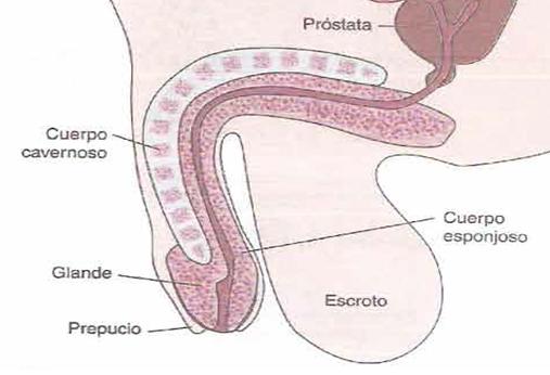 El preservativo a una pequeña dimensión del miembro