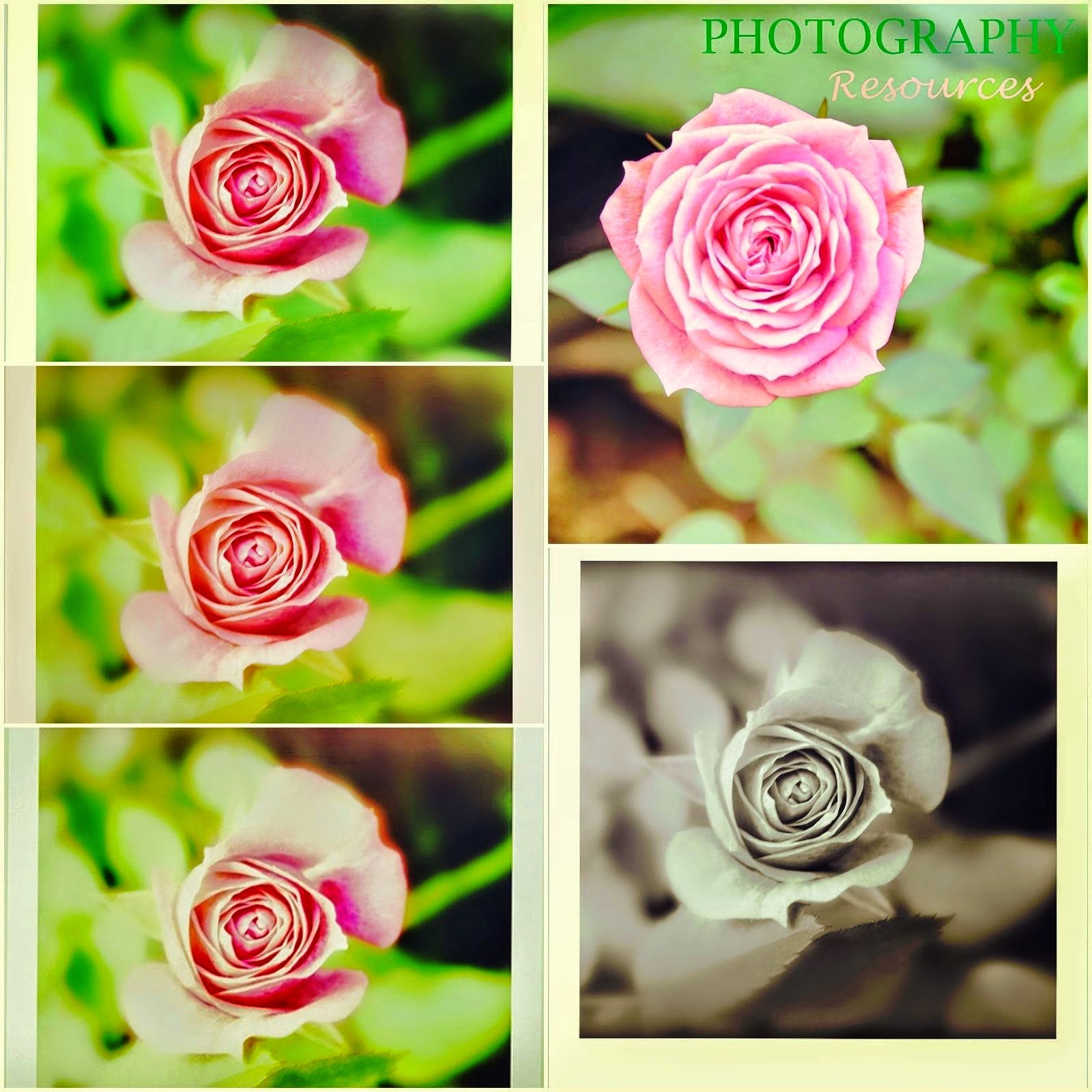 beautiful pink roses collage