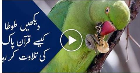 islamic video, parrot, holy book, Beautiful Parrot recite the Versus of Holy Quran Ayat, parrot recite quran video, parot, parrot recites qurani ayat video, viral video,
