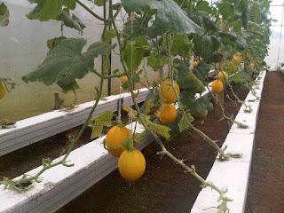 http://www.ambyaberbagi.com/2015/08/bisnis-sehat-budidaya-melon-hidroponik.html