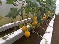 Bisnis Sehat dan Menyenangkan Dengan Budidaya Melon Hidroponik