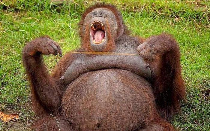 Funny animals of the week - 21 February 2014 (40 pics), big orangutan yawning