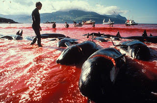 Whales are still hunted and killed