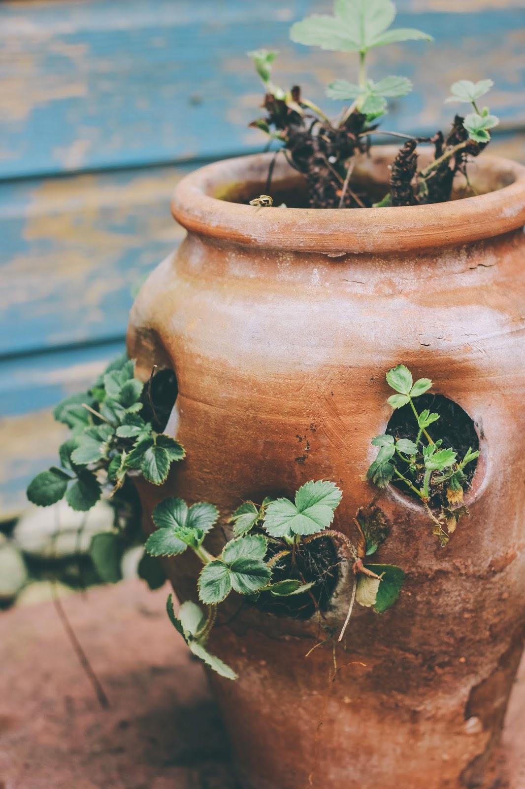 Strawberries in terracotta pot planter