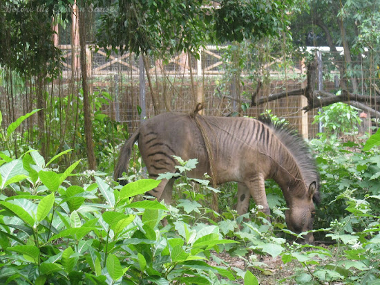 Quasi-zebra in Manila Zoo