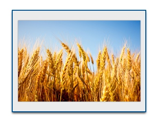 "Why Wheat is KILLING you - Yes, even ""whole wheat"""