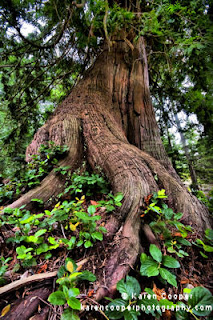 Best Places to See in BC, Old Growth Trees