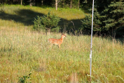still spotted whitetail fawn