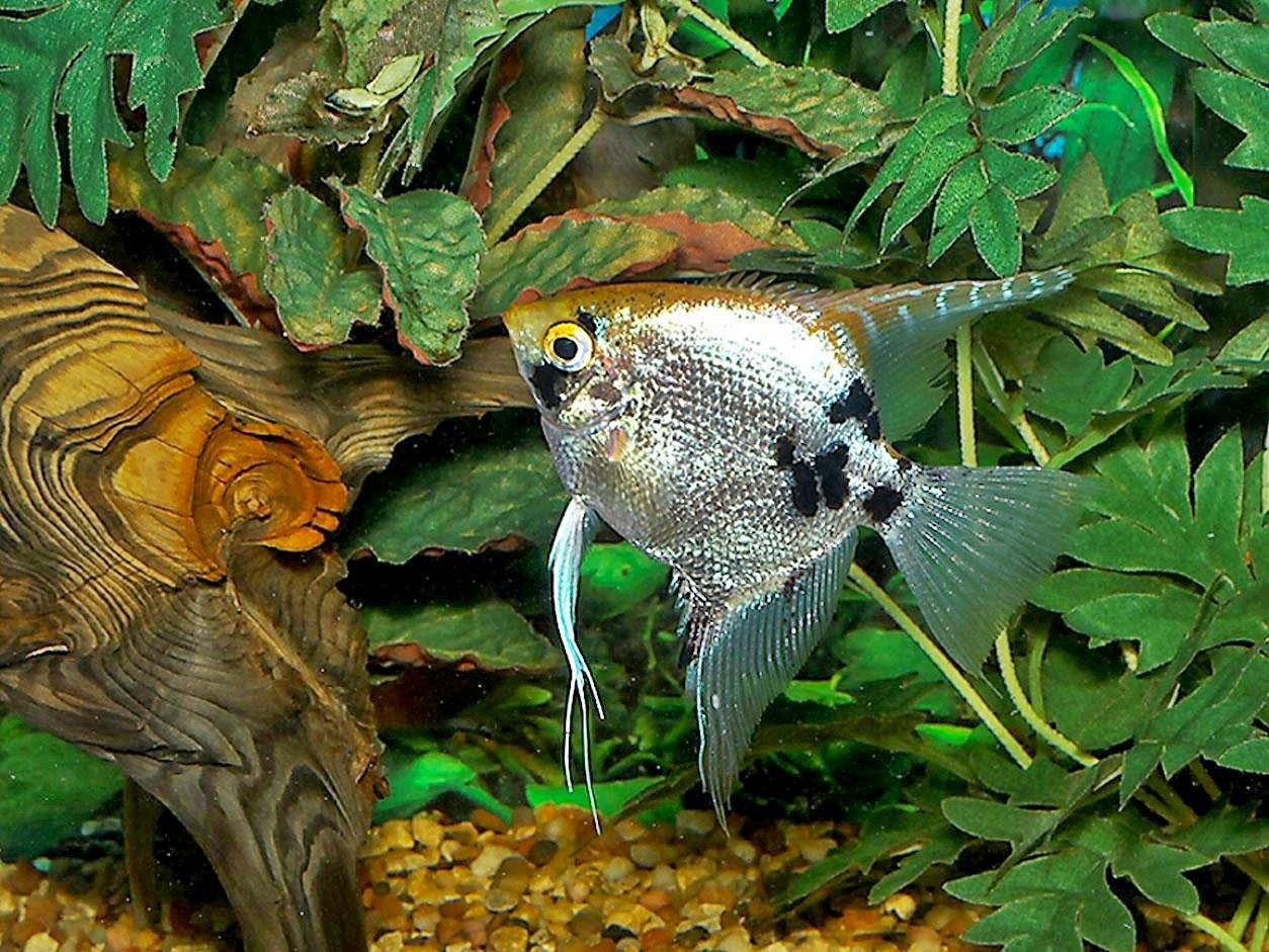 Cara Budidaya Ikan Manfish - Dunia Akuarium