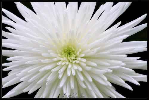 Fl Fact Mums Come In Several Varieties Which Determine Their Size And Color The Name Literally Means Golden Flower