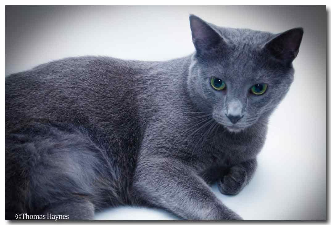 """""""russian blue"""" rescued kitty, wonderful personality, lives with his brother"""