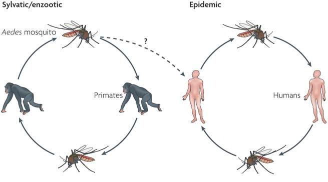 athogenesis of dengue haemorrhagic fever and Dengue fever, dengue haemorrhagic fever (dhf), or  features and  pathogenesis of dengue infections, and the  million cases of dengue  haemorrhagic fever.