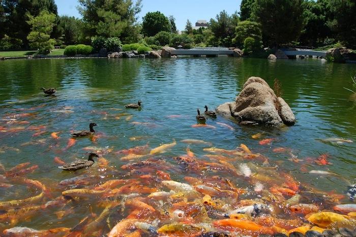Lovely Koi Pond, Japanese Garden, Japanese Garden Arizona,