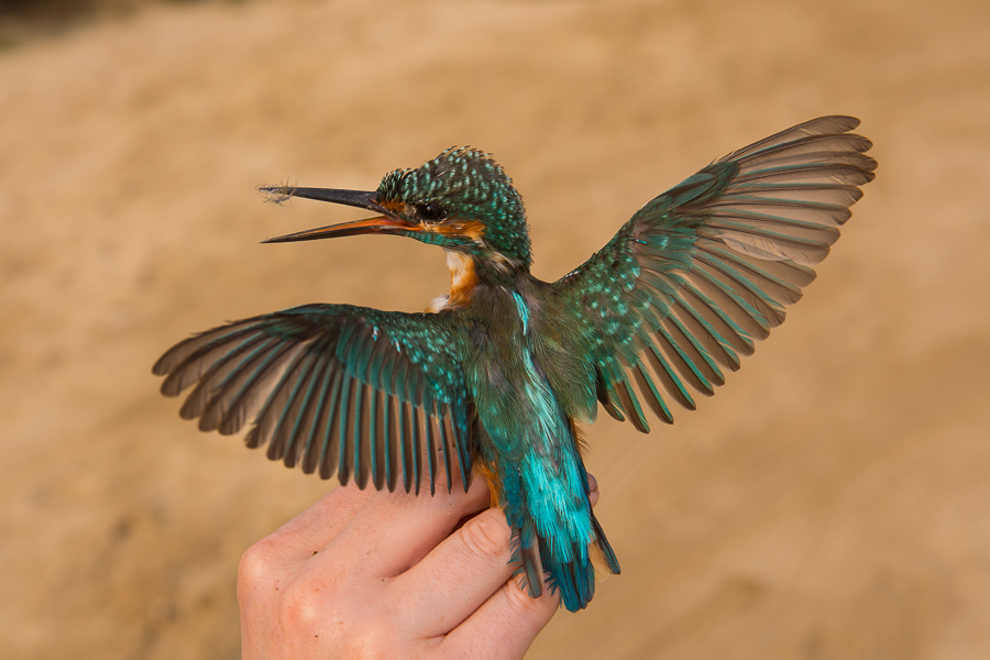 Common Kingfisher - male