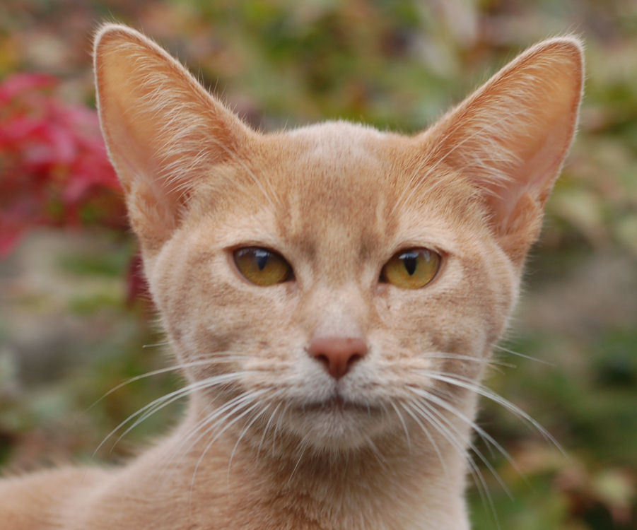 Fawn Colored Cat Fawn abyssinian cat