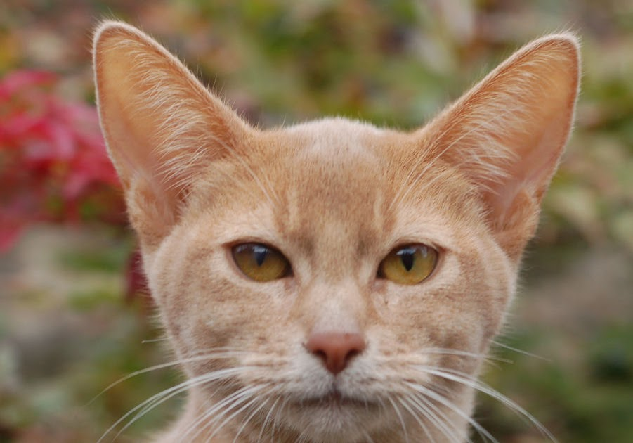Encyclopedia of Cats Breed: Fawn Abyssinian Cat Usual Abyssinian Kittens