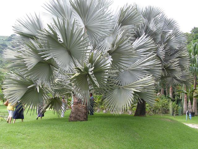 plantas para jardim muito sol:REI DO HORTO: Palmeira Bismarck