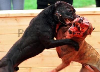 Resultado de imagen de peleas de perros