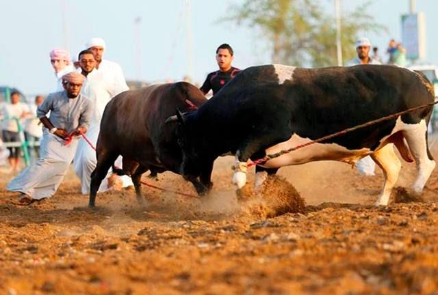 Bullfighting in Dubai