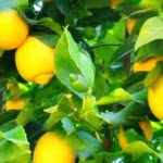 Facts & Information about Lemon Tree - Healthy Fruit Tips