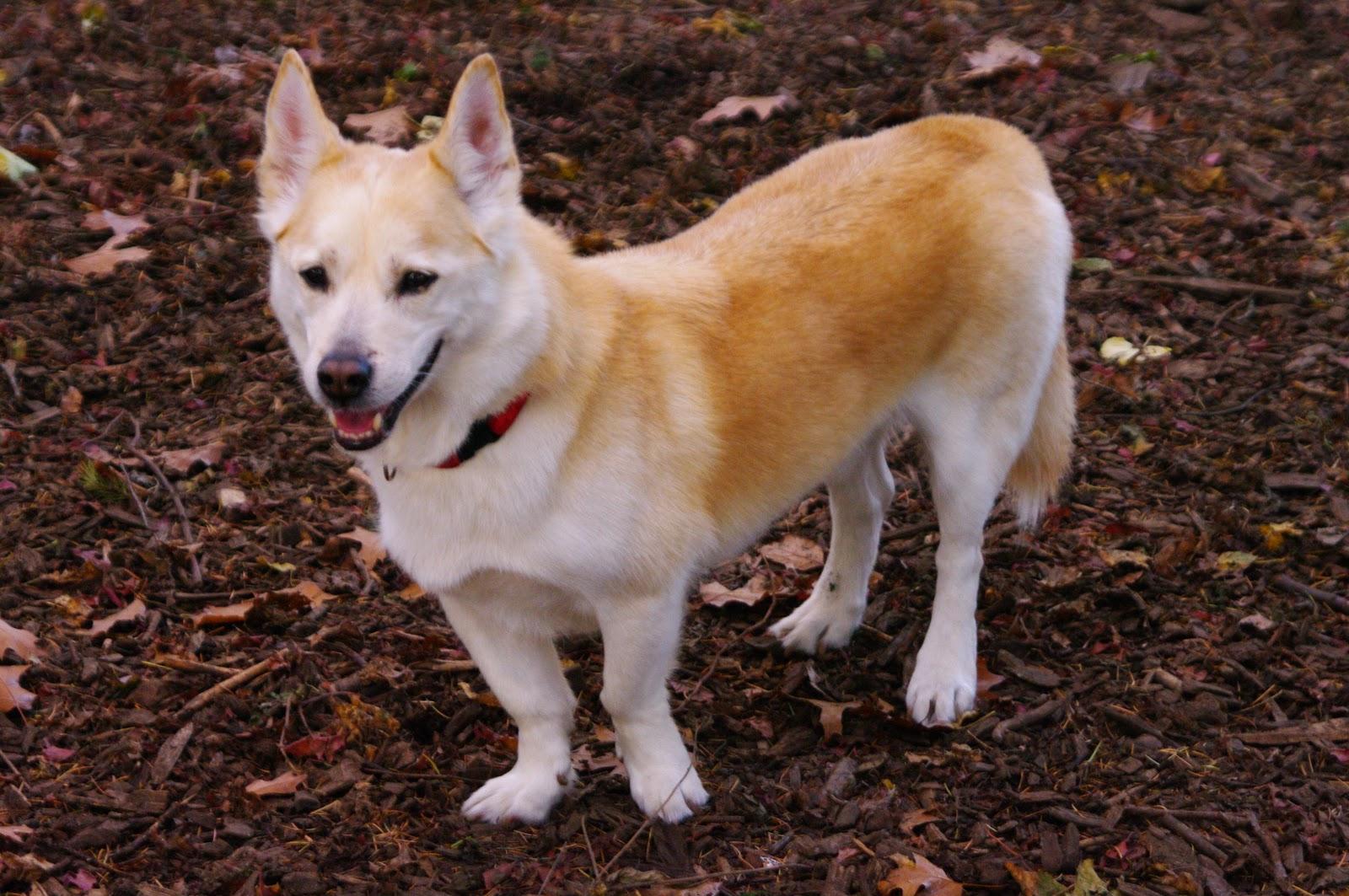 Husky Corgi Mix - Dog Training Home | Dog Types
