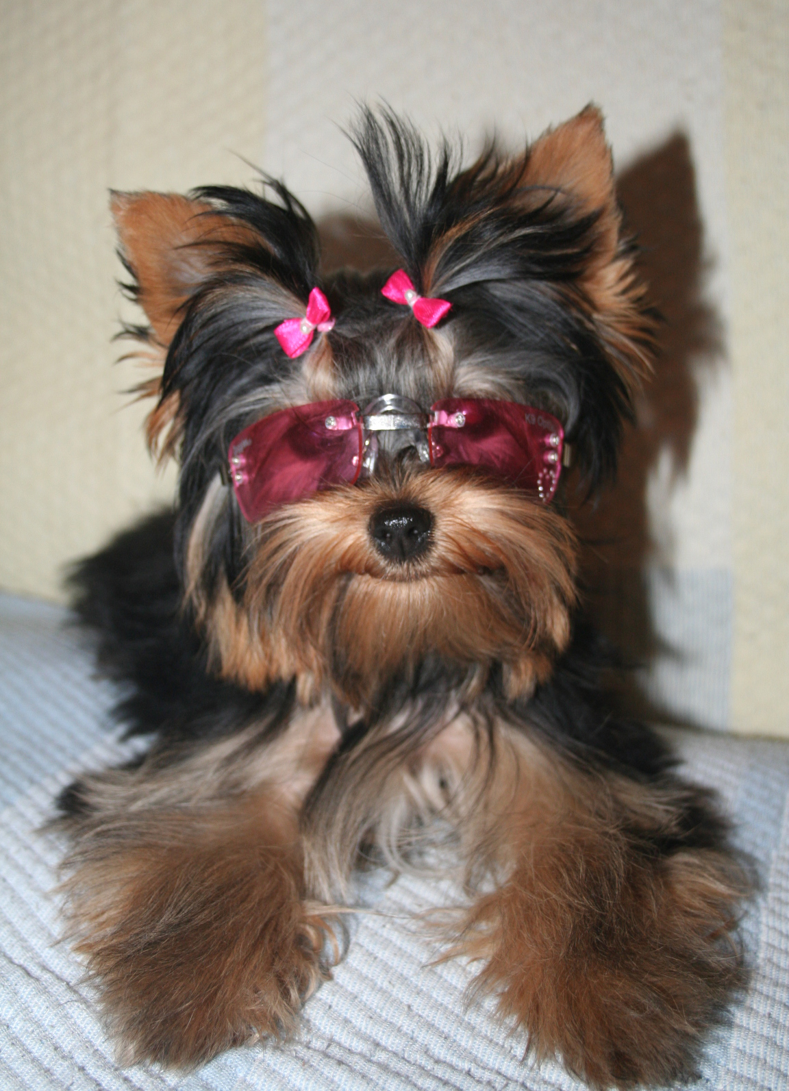 Yorkie dogs are commonly known as Yorkshire terrier dogs.